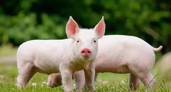 防控非洲猪瘟工作不力!临高通报批评2单位,问责20名责任人