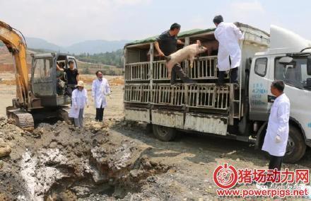从广西非法调出,路过盘州的83头生猪被葬深坑
