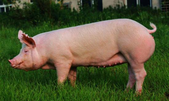 香港鮮豬肉恢复供应 零售价贵四成