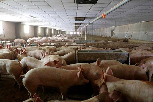 国家统计局晋城调查队:山西晋城1/3养猪户不养或退出,生猪生产形势严峻!