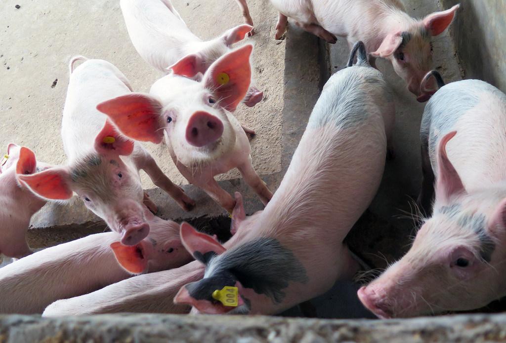 非洲猪瘟爆发一周年 亚洲近500万头猪丧生