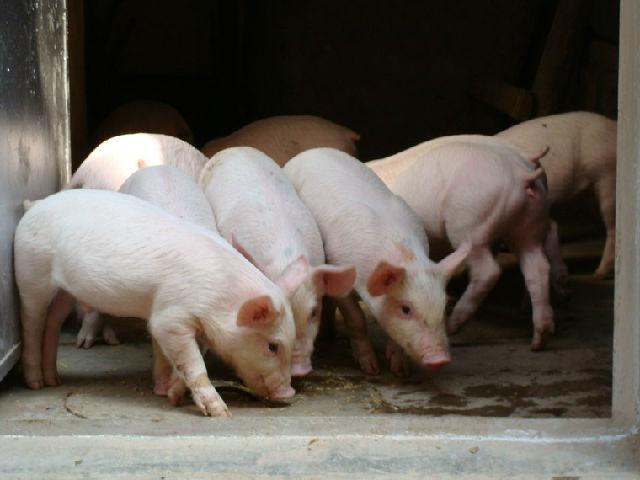 中国全力破解生猪养殖环保问题