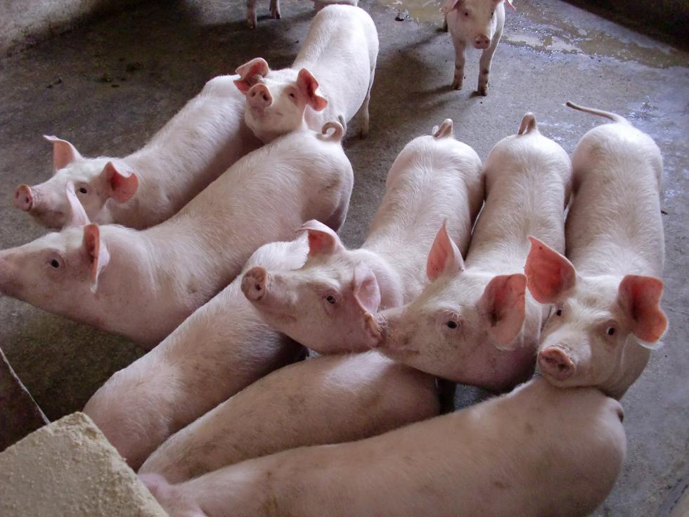 多家上市公司扩大生猪养殖规模