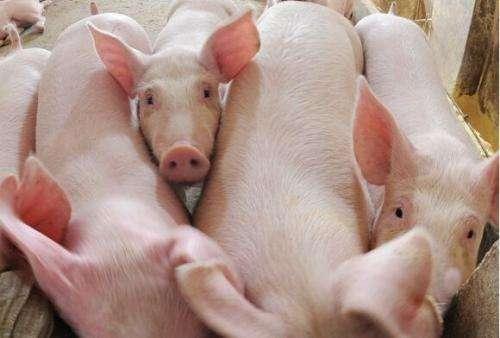 非瘟疫情下生猪上游供应情况分析及价格深跌原因分析