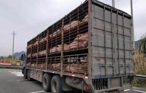 跨省调运生猪并赚取差价 男子伪造检疫证明获刑1年2个月