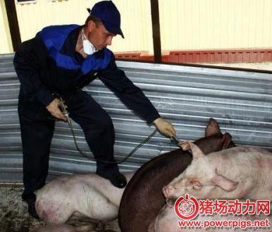 保加利亚发现非洲猪瘟再次扑杀4万头猪