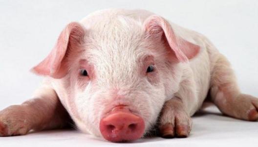 养殖户惜售情绪渐浓,支持后市猪价上涨