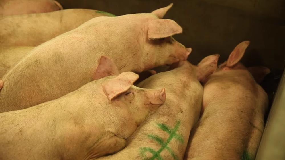 生猪养殖利润超2500元/头,高利润将持续到何时?