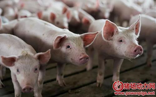 直播卖猪肉?包头两村民因私屠乱宰被查处