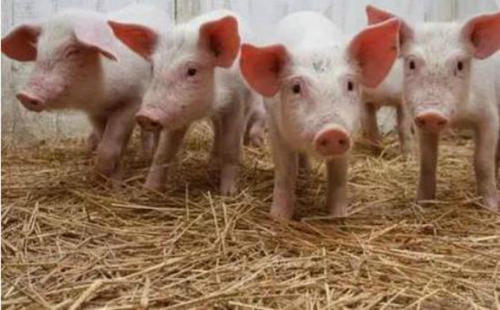 海南年出栏逾500头规模猪场可获贷款贴息补助