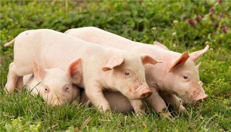 猪肉价格连续五周上涨:季节性反弹加需求恢复,难超前期高点